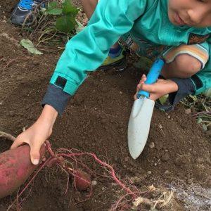 <span>おでかけニュース【レポート】</span> 上手に収穫するためのコツは? イモ掘りしてみてわかったこと
