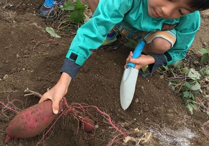 上手に収穫するためのコツは? イモ掘りしてみてわかったこと