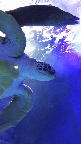 キキ撮影のウミガメ。背の低さを生かして下から見上げたナイスショット☆