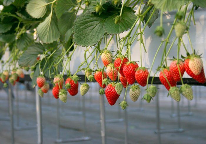 予約は16日から。無農薬の果実を味わえる、東京・多摩地区のいちご狩り