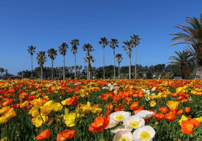 南房総の南端で、ポピーの花摘みを満喫【お花畑特集・千葉】