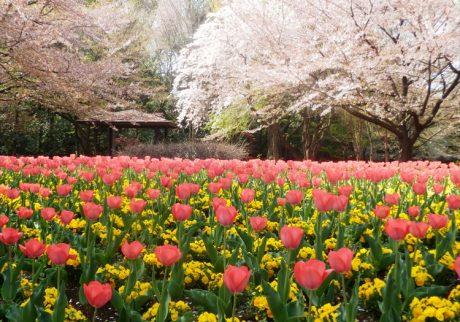 小さな子どもも大好きな、チューリップと桜が同時に楽しめるスポット【お花畑特集・埼玉】