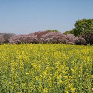 <span>おでかけニュース【スペシャル】</span> 満開の桜と菜の花。春のピクニックに行きたい公園【お花畑特集・東京】