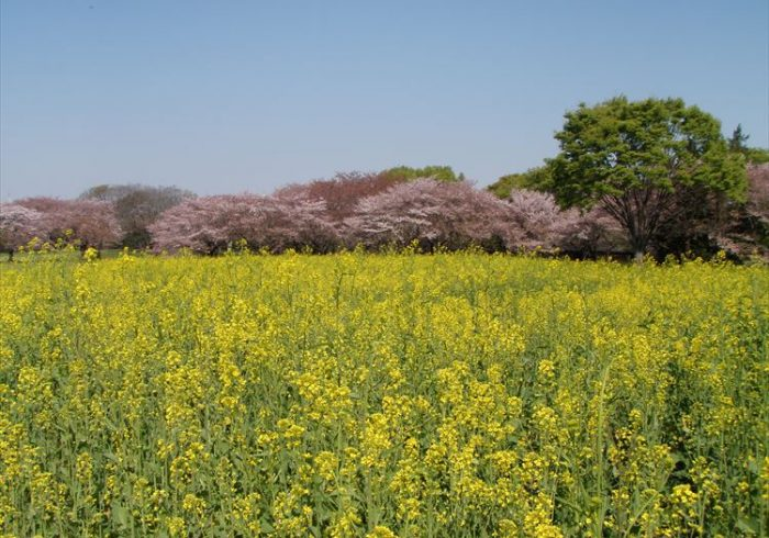 満開の桜と菜の花。春のピクニックに行きたい公園【お花畑特集・東京】