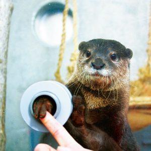 <span>水族館特集7</span> カワウソが指をにぎり返してくれる! スキンシップが楽しい水族館・1