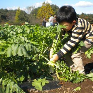 <span>おでかけニュース【埼玉】</span> ダイコンにカブ。いまならキウイも! 親子で楽しい収穫体験