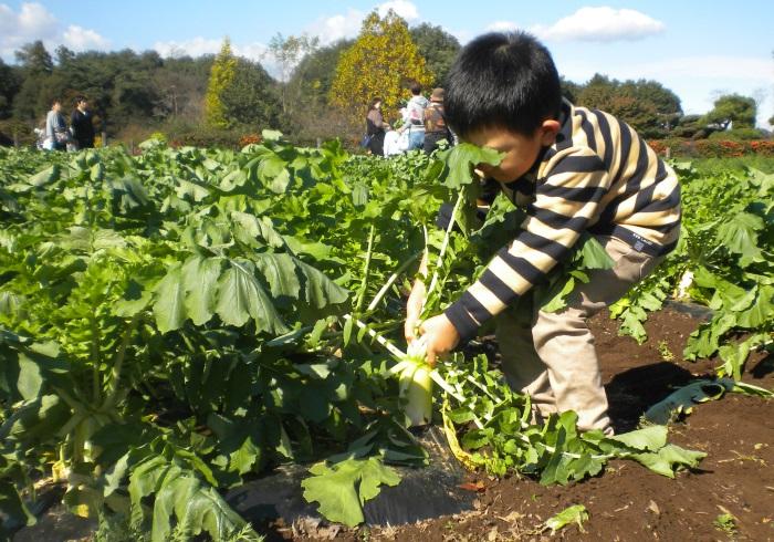 ダイコンにカブ。いまならキウイも! 親子で楽しい収穫体験