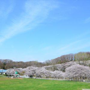 <span>おでかけニュース【神奈川】</span> 満開の桜と羊の毛刈りショー。こどもの国の「桜と羊のフェスティバル」