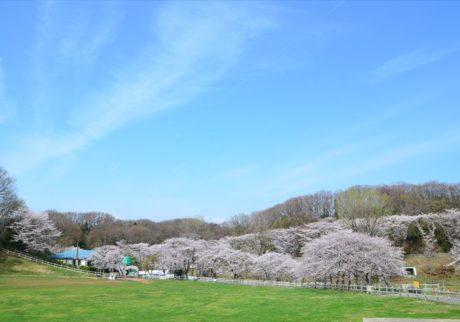 満開の桜と羊の毛刈りショー。こどもの国の「桜と羊のフェスティバル」