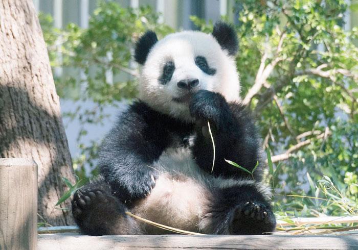 新しい対面方法もご紹介! 上野動物園のシャンシャンに会いに行こう!!