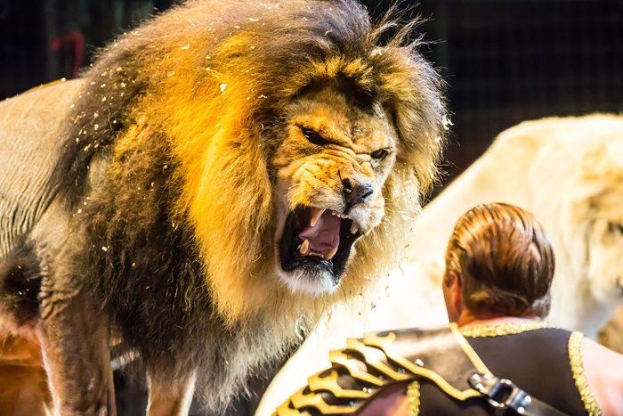ホワイトライオンの猛獣ショーに空中ブランコ。ドキドキのサーカス体験