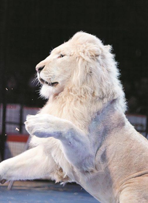lion2_r