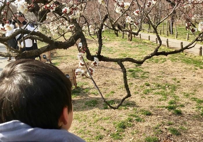 偕楽園、臨時駅と梅の花と早春の絵本。息子と梅のお花見