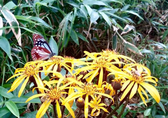 息子と私は、毎朝蝶の幼虫チェック。山椒の木とはらぺこいもむし、蝶の絵本