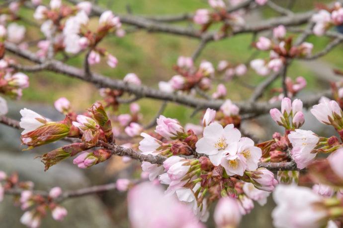 桜の花 / 爽やかな春のイメージ