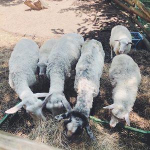 羊の毛ってどうやって刈るの?知っておきたいミュールジング【親子ではじめる、エシカル暮らし・13】