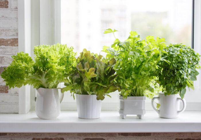 キッチンで野菜を作ろう!~水耕栽培のすすめ